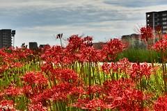 Red Spider Lily blossom,Japan. (marcelo.nakazaki) Tags: asia aichiken nagoya japan japon japao arquitetura predio redspiderlily outono postcard naturezaurbana natureza nature flower ceu sky nuvem lirioaranha