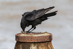 Carrion crow (Shane Jones) Tags: carrioncrow crow corvid bird crab wildlife nikon d500 200400vr tc14eii