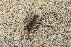 Hairy Necked Tiger Beetle (brucetopher) Tags: tigerbeetle beetle beach beachtigerbeetle insect bug critter tiny beauty beautiful pattern shell camouflage fast tease frustrating elusive