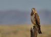 Swainson's Hawk (Happy Photographer) Tags: swainsons hawk raptor bird summer colorado amyhudechek