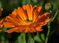 Orange Beauty (Timo Halonen) Tags: marigold kehkukka orange flower nikon dx d5200 tokina 100mm macro tokina100mmf28atxprod11macro