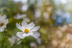 White Cosmos (Jerry Fryer) Tags: white cosmos single flower bokeh ef25mmf14lii canon 5dmk2