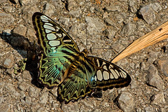 Parthenos sylvia - the Clipper (BugsAlive) Tags: butterfly butterflies mariposa papillon farfalla schmetterling  conbm  animal outdoor insects insect lepidoptera macro nature nymphalidae parthenossylvia theclipper limenitidinae wildlife lamnamkoknp chiangrai liveinsects thailand