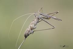 Tylopsis lilifolia female - Phaneropteridae (mauro.santucci) Tags: tettigoniidae ortotteri