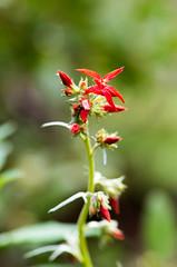 Scarlet Gilia 2 (Dreams of Evergreens) Tags: ipomopsis aggregata red flower scarlet gilia macro closeup