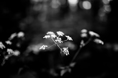 Flowers (Digic-Vision) Tags: canon 6d sigma 35mm 14 art flowers dof depth field monochrome black white