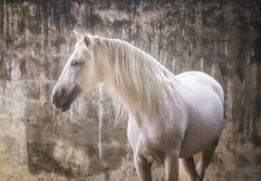 Bathed in light (marylouiseshoemaker) Tags: horse horses whitehorse ethereal