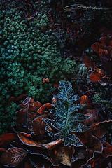 Winter wishes II (MaaykeKlaver) Tags: winter fern plants frost frozen leaves autumn courageous dark moss ground macro nature leaf green red orange ice snow