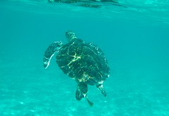 Sea Turtle (Nana* <salala817>) Tags: ocean blue sea beach turtle okinawa  seaturtle tokashiki    tokashiku