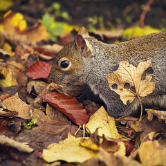 amongst the autumn leaves (Black Cat Photos) Tags: park uk november autumn trees red orange brown reflection cute eye fall nature leaves animal swimming swim automne canon season fur dead gold golden rodent leaf search squirrel vibrant wildlife yorkshire leeds harvest deep adorable whiskers autumncolours foliage crisp eat sycamore fallen ear british wade colourful dried melancholy transition dying exploration contrasts esquilo autumnal beech lots rummage vermin britian hunt ardilla splendor catchlight temperate sciuruscarolinensis beautuful equinoxes autumnus autompne golderacre