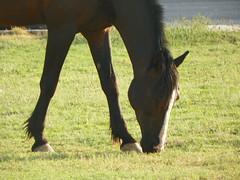 100_0038 (Mamdouh almalki) Tags: horses horse arabian