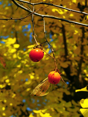 IMGP9992 (oasisframe) Tags: blue autumn trees red fall yellow fruit bluesky korea persimmon southkorea fruitful     persimmontrees koreaimage