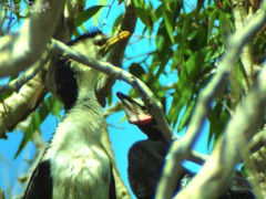 Little Pied Cormorant feeding its young