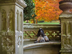 Paws for Thought (Photo Gal 2009) Tags: blackandwhite orange yellow bench colours otis canine autumncolours colourful cocker cockerspaniel autumnal stonebench orangetree autumntrees blueroan autumnuk autumnengland colourstrees autumn2012 cockerboy tyntesfieldbench