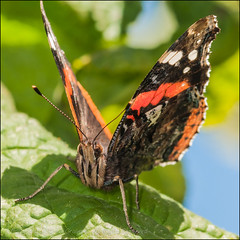 The Admiral (*ian*) Tags: red macro green eye nature closeup butterfly bug insect square leaf wildlife wing redadmiral lepidoptera favourite antennae proboscis vanessaatalanta bigemrg mygearandme mygearandmepremium