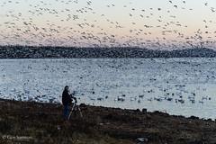 Les oies de Victo / Victoriaville's Wild Geese (guysamsonphoto) Tags: birds sunrise oiseaux leverdesoleil victoriaville wildgeese victo mfcc oiesblanches nikond600 nikkor2485 nikonflickraward guysamson