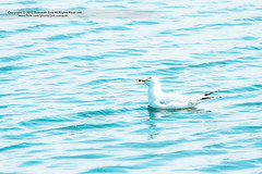 Gull Bird ( SUMAYAH  ) Tags: ca camera blue sea lake canada canon landscape photography eos flickr edmonton explore alberta pro brid       550d   sumayah       flickrsumayah  sumayahessa