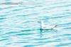 Gull Bird (✿ SUMAYAH ©™) Tags: ca camera blue sea lake canada canon landscape photography eos flickr edmonton explore alberta pro brid بحيرة أزرق طبيعة بحر طير طيور 550d نورس صورطيور sumayah بحيرات لاندسكيب صورطبيعه فلكرسمية المصورةسمية سميةعيسى flickrsumayah المصورةسميةعيسى sumayahessa