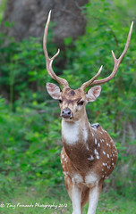 Spotted Deer (Axis axis) (Tony Fernando) Tags: canon l f56 ef 400mm