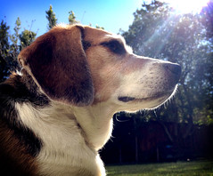 Sun dog (Dan Hontz) Tags: dog sun beagle backlight god ears canine rays noble