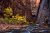Autumn in The Narrows (posthumus_cake (www.pinnaclephotography.net)) Tags: november autumn southwest fall nature water zeiss river landscape utah nationalpark ut stream canyon zion zionnationalpark current narrows ze virginriver 235 thenarrows distagont235 carlzeissdistagont235ze