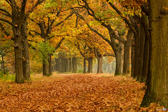 Autumn colors on a grey day (BraCom (Bram)) Tags: autumn trees holland automne canon leaf oak bomen herbst herfst nederland thenetherlands tunnel blad autunno eik apeldoorn gelderland canonef24105mmf4lisusm bracom rememberthatmomentlevel1 rememberthatmomentlevel2 rememberthatmomentlevel3 canoneos5dmkiii