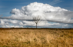 Solo Tree & cloud (welshio) Tags: trees shadow sky tree grass silhouette clouds alone stripes centre horizon small central fluffy solo single cumulus remote shrub stranded lightandshadow isolated blueandyellow