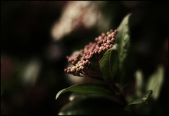 Soft (majestiele) Tags: pink flowers leaves 50mm dof bokeh buds 18