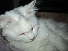 Maggie sleeping very well (chanelchat Rachel) Tags: cats pets closeup canon box kittens maggie greeneyes whitecats norwegianforestcats chanelchat