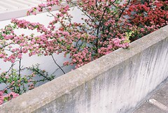 / (jamiehladky) Tags: park city pink flowers red flower nature car wall club concrete bush garage parking capital grow canberra barton through press act parapet pressclub jamiehladky hladky
