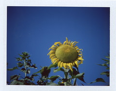 Summer Sunflowers. (new.brighton) Tags: california flower polaroid yellowflower sunflower blueskies