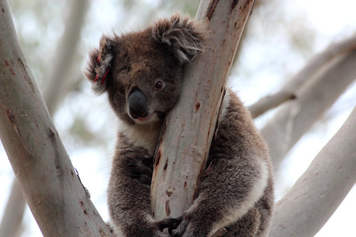 Phascolarctos cinereus (Koala)