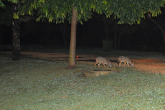 Jackals at the park 3   (  asaf pollak) Tags: night israel jackal  yarkonpark jackals    asafpollak
