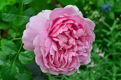 Rose (chooyutshing) Tags: flower rose singapore marinabay baysouth flowerdome gardensbythebay nationalparksboard