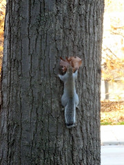 Squirrel with mouthful of leaves for his drey (nest) (benchilada) Tags: leaves for squirrel with nest his mouthful drey