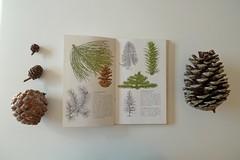 pinus (Mi Mitrika) Tags: livro ilustrao pinhas coleco