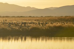 Sandhill Cranes, roosting in Sulphur Springs Valley, Arizona (autrevie) Tags: sandhillcrane willcoxaz cochisecountyarizona