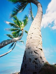 Coconut trees (art y fotos) Tags: trees 120 mediumformat hawaii oahu coconut handmade pinhole homemade 6x45 toycameras bambole debonair fpp hauula kodakektar100 filmphotographypodcast bamboopinholecamera filmphotographyproject plasticfilmtastic120 fppdebonair lebambolemkviii pindebonair