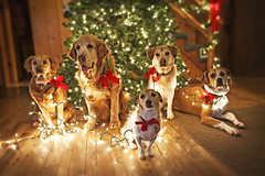 Decorating Dogs (miss_n_arrow) Tags: christmas family red dog tree green dogs rio jack lights golden mix kirby russell joy hound retriever juneau terrier decorating boxer merry decorate bows pudge tilly 2012 huskador highqualitydogs