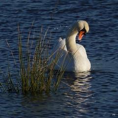 Water Gems (jump for joy2010) Tags: uk november blue england water birds somerset rush breeze waterdroplets 2012 muteswan cygnusolor somersetlevels floodedfield westhaynaturereserve
