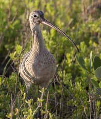 BI121119-393-Long-billed Curlew (lgooch) Tags: texas southpadreisland longbilledcurlew numeniusamericanus taxonomybinomial november2012 southpadreislandbirdingandnaturecenter