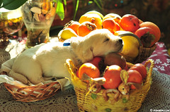 little Pirin (.:: Maya ::.) Tags: sleeping dog baby fruits puppy golden retriever mayaeye mayakarkalicheva маякъркаличева