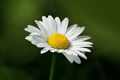 A daisy... (janrs7) Tags: summer white flower petals flora bokeh july wildflower oxeyedaisy prestekrage sonyemount55210mm sonyilc6000