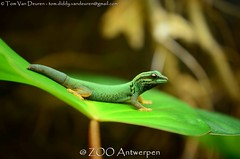 Azuurblauwe daggekko - Lygodactylus williamsi - Turquoise Dwarf Gecko (MrTDiddy) Tags: azuurblauwe daggekko lygodactylus williamsi turquoise dwarf gecko azuur blauw blauwe dag gekko reptiel reptile reptillian lizard hagedis zooantwerpen zoo antwerpen anterp