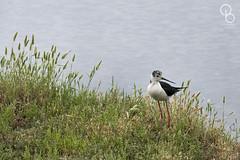 2016-06-14 - Réserve ornithologique du Teich 01 (aaoouumm) Tags: teich échasse réserve ornithologique