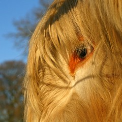 Eye Can See You... (RoystonVasey) Tags: canon eos 50mm cow cattle highland coo fifty nifty 400d