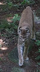 Luchs kommt (c4harry) Tags: wald chattengau edersee wildtierpark kellerwald kosystem luchs