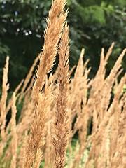 Cylburn Arboretum ~ HBW! (karma (Karen)) Tags: baltimore maryland cylburn arboretums grasses texture dof bokeh hbw bokehwednesday