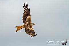 Red Kite on a Grey Day (Milvus milvus) (gcampbellphoto) Tags: redkite milvusmilvus raptor birdofprey bif birdinflight flight scotland gcampbellphoto nature wildlife bird avian