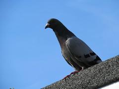 Monday, 25th, I'm still feeding pigeons IMG_3140 (tomylees) Tags: essex morning summer july 25h monday 2016 garden pigeon blue sky